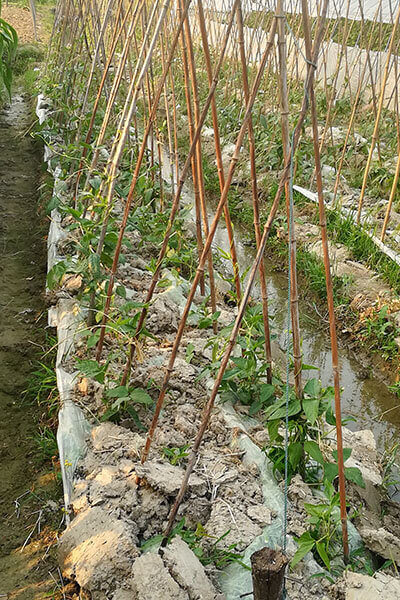 bamboo cane for plant supporting 1