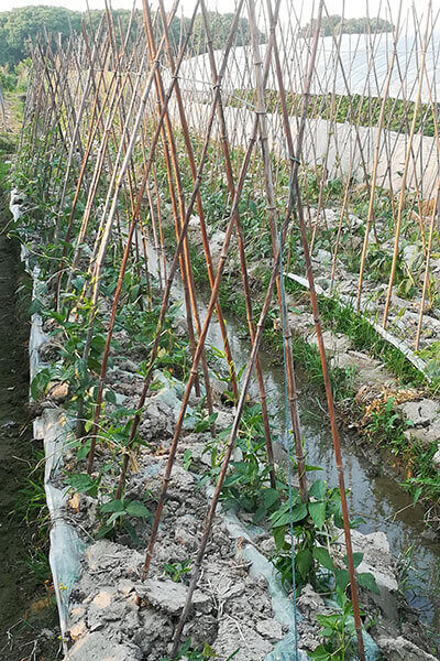 bamboo cane for plant supporting 4