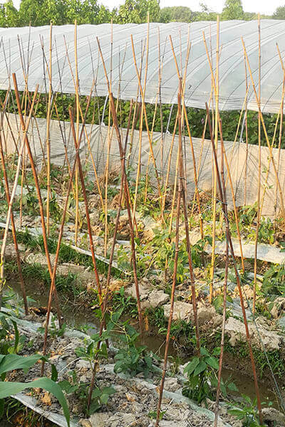 bamboo cane for plant supporting 6